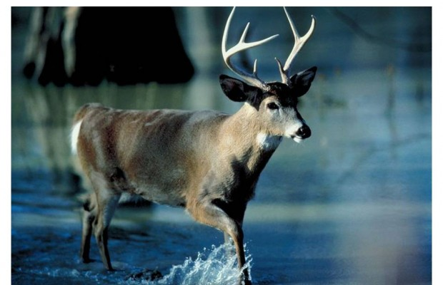 Need a Deer Antler Velvet Extract Fix? Try Bambisol