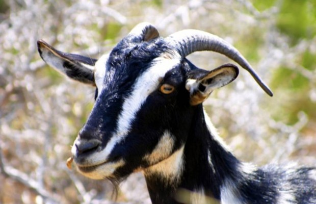 Is it ok to have sex with a goat? (Answer: NO)