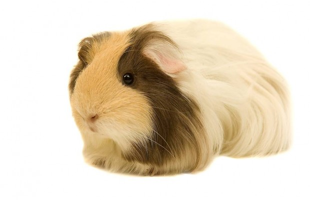 Bad Guinea Pig Meat sends over 80 people to the hospital